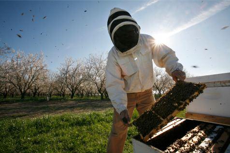Een onderzoeken in Amerika bekijkt zijn korven: toptijdschrift <i>Science</i> legde daar onlangs een link tussen bijensterfte en pesticiden. Foto: Michael Maloney/San Francisco Chronicle/Corbis