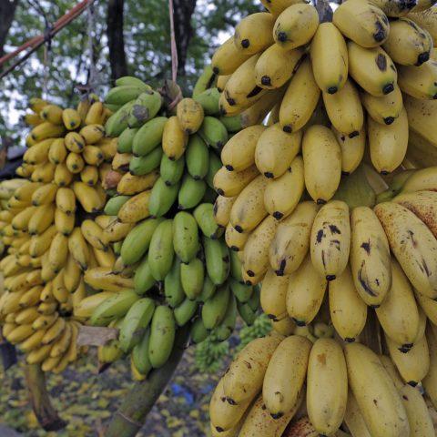 De supermarkten zijn (eindelijk) om: fatsoenlijk loon voor bananenwerkers