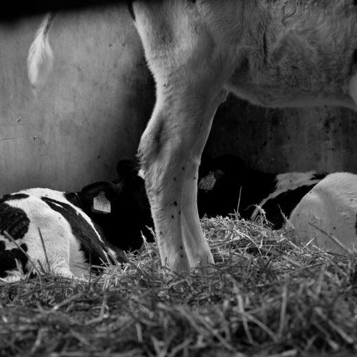 Microbrouwer Jaapje 439: biologische speciaalmelk, rechtstreeks uit de uier