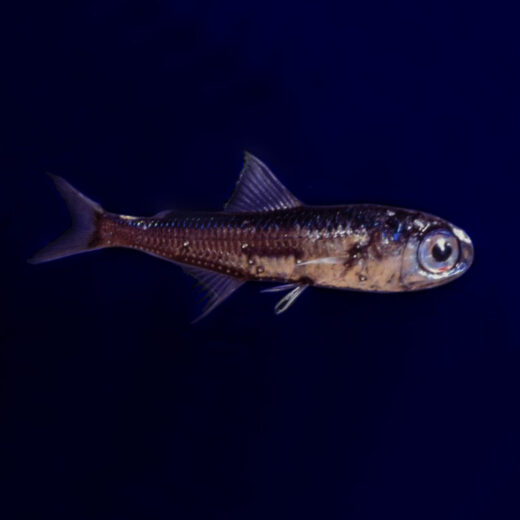 Genoeg vissen in de zee om eens wat anders te eten dan zalm of tonijn